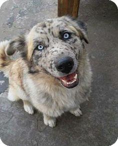 Denver, CO - Australian Shepherd/Husky Mix. Meet Riley, a dog for adoption. http://www.adoptapet.com/pet/17928787-denver-colorado-australian-shepherd-mix