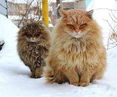 Siberische kat in de sneeuw