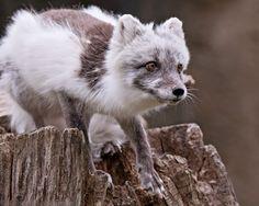 Arctic Fox by robbob