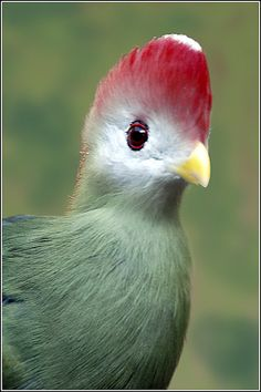 03-0153 Red Crested Turaco by Earl Reinink, via Flickr