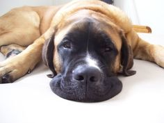 """Saint Bermastiff (Saint Bernard and English Mastiff). Normally, Im against """"hybrid"""" or """"designer dogs"""" , but how cute it that face??? I need one!"""