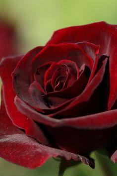 бархатная роза фото: 85 тис. зображень знайдено в Яндекс.Зображеннях