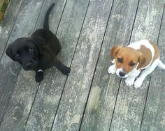 Black lab and beagle puppy.