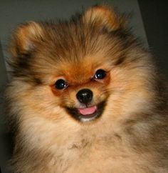 OMG it looks just like Cassini but he can NEVER be duplicated NEVER!!!!!Pom of epic cuteness!  #pomeranian