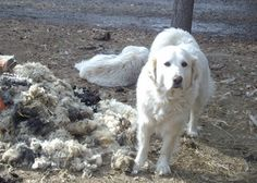 Herbal Remedies for Common Pet and Livestock Ailments