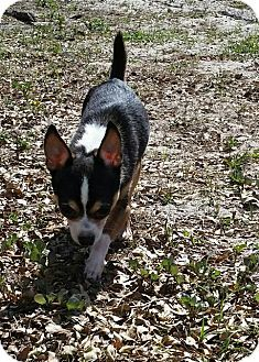 Fort Myers, FL - Chihuahua/Mixed Breed (Small) Mix. Meet Frodo, a dog for adoption. http://www.adoptapet.com/pet/17770392-fort-myers-florida-chihuahua-mix