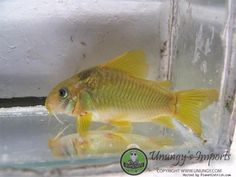 Corydoras sp. (Cw078) Nanay Nugget Cory #TropicalFishFreshwater
