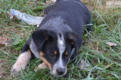 Australian Cattle Dog Puppies For Sale Nz