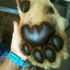 Lion paw compared to a human handPhoto credit: chiaratoshi