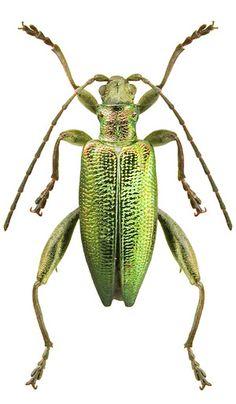 Donacia reticulata