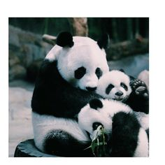 Panda mom and her cubs