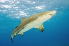 Lemon shark facts with attractive photos to make learning much fun. Latest information about the shark. Shark Pictures, Shark Photos, Nursery Water, Black Tip Shark, All About Sharks, Flora Marina, Shark Books, Shark Facts, Underwater Animals