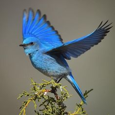 Mountain Bluebird on Juniper Pretty Birds, Beautiful Birds, Vogel Gif, Blue Bird Art, Bluebird Tattoo, Australian Birds, Bird Pictures, All Gods Creatures, Colorful Birds