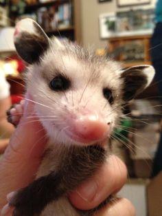Baby opossum before bath