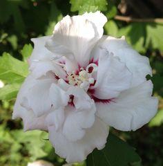 Mooie bloem van Chinese roos...