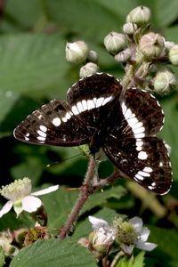 De zeldzame kleine ijsvogelvlinder komt steeds meer voor in de bossen van het Groene Woud, mede dankzij beheermaatregelen (foto: Kars Veling)