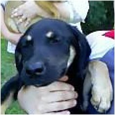 3/23/15 SL!!!! l ~~ Blackie Shepherd & Yellow Labrador Retriever Mix • Adult • Male • Large Raleigh County Animal Rescue Coal City, WV