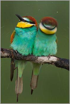 European Bee Eaters - so cute!