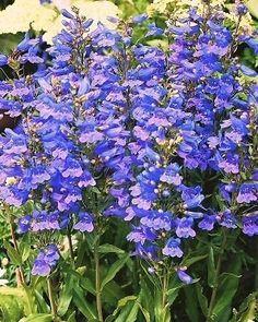 Pack X6 Penstemon 'Heavenly Blue' Perennial Garden Plug Plants