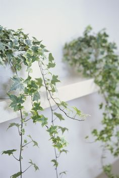 English Ivy You could let the long tendrils hang from the mantel, but the climbing plant is also game for topiaries (or stadium walls, like at Wrigley Field). Chicago Botanic Garden recommends Cascade, Domino and Irish Lace as some of the best potted varieties.