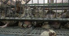 Cailles, des petits oiseaux, ils tolérent une immense souffrance