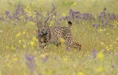 Closely following the Amur Leopard, the Iberian Lynx is also one of the most critically endangered species of feline in the world. With only between 84 to 143 adults in the world, the Iberian lynx's population has steadily decreased over the last 200 years and there are now only two confirmed small breeding populations in Spain.