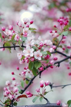 """justbelieve2him: """" *~ Crabapple Blossoms in Spring ~* """""""