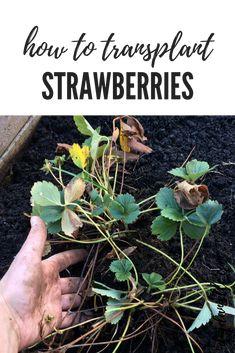 How to transplant strawberries in the garden. #gardening #gardens #gardeningtips