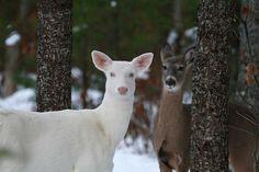 Blue Eyes and Her Shadow 3 Wild albino deer of Boulder Junction Wisconsin Albino Deer, Scenery Photography, Milwaukee Wisconsin, Oh Deer, Christmas Scenes, Woodland Creatures, Beautiful Creatures, Winter Wonderland, Wildlife