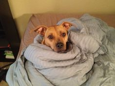 Check out Tucker's profile on AllPaws.com and help him get adopted! Tucker is an adorable Dog that needs a new home. https://www.allpaws.com/adopt-a-dog/american-pit-bull-terrier-mix-boxer/5286196?social_ref=pinterest