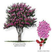 The premier ornamental tree in South Central Texas is the Crape Myrtle, valued for it's long period of striking summer flowers. These showy flower are available in many colors and the tree works well as a shrub. Trees And Shrubs, Trees To Plant, Tree Planting, Flowering Trees, Small Landscape Trees, Landscape Nursery, Lagerstroemia, Tree Identification, Citrus Trees