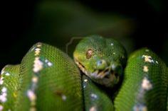 Serpent vert recroquevillée sur une branche, la nature animale photo  Banque d'images