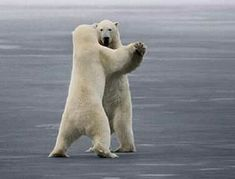 When Polar Bears dance I wonder how they decide who leads?