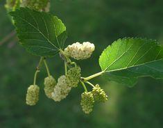 DUT YAPRAĞININ FAYDALARI ve DUT YAPRAĞI ÇAYI TARİFİ Özellikle yaz aylarında bollaşan dut meyvesinin, kendisi, kurusu kadar yaprağı ...