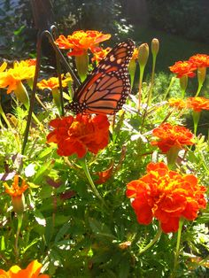 Monarch on the Marigolds