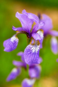 Iris.  @Christina Winter Here is what the petals mean! The iris's three upright petals are said to symbolize faith, valor and wisdom