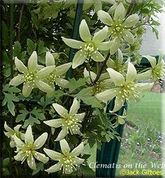 Clematis 'Fragrant Oberon' Is this available in the U.S.?