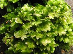 Hookeria lucens - kápuška skvělá