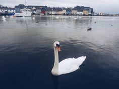 #galway #swan
