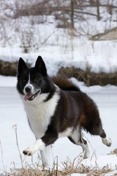 Karelian Bear Dog - I love these guys.  Just saw one at Bear Affair at work this weekend.  Don't think I'd ever get one, since they are runners