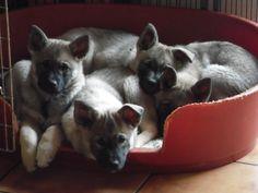 Cuddlepuppies. #elkhound #elghund