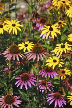 Der Gelbe Sonnenhut oder Gewöhnliche Sonnenhut (Rudbeckia) und der Scheinsonnenhut oder Purpursonnenhut (Echinacea) sind beliebte Sommerstauden und sehen sich zum Verwechseln ähnlich. Dennoch sind die Pflanzen botanisch nicht so eng miteinander verwandt, wie man früher annahm.