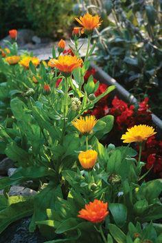 "DIY Calendula Salve Recipe. Calendula Plants, Calendula Petals ""Dream Team's"" Portland Garden  (scheduled via http://www.tailwindapp.com?utm_source=pinterest&utm_medium=twpin&utm_content=post16363880&utm_campaign=scheduler_attribution)"