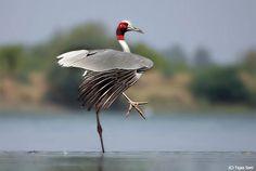Grue antigone / Sarus Crane