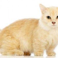#dogalize Gatos enanos: el enanismo en los gatos #dogs #cats #pets