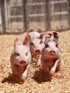 'Hey guys, isn't that our farmer coming this way? And he's bringing our breakfast? Charge!' - Piggies!