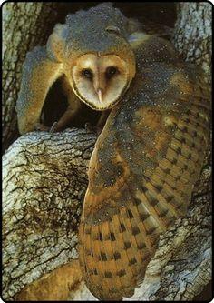 """mistymorrning: """" barn owl… """""""