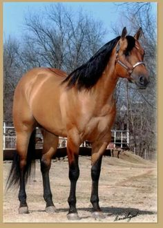 Zan it stallion - Twombly Performance Horses for Sale All The Pretty Horses, Beautiful Horses, Animals Beautiful, Andalusian Horse, Friesian Horse, Arabian Horses, Buckskin Horses, American Quarter Horse, Quarter Horses
