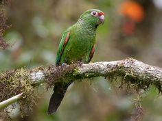 maroon tailed parakeet