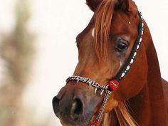 Bashayer Al Rashediah (SUROR EZZAIN x NK JAMILLA) 2009 chestnut SE mare bred by Al Rashediah Stud - Strain: Abayyan Om Jurays